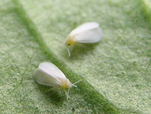 whitefly treatment