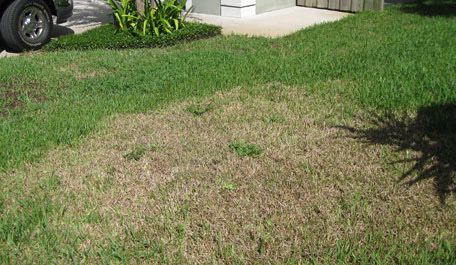 Chinch bug treatment Boca Raton, Delray Beach, Palm Beach
