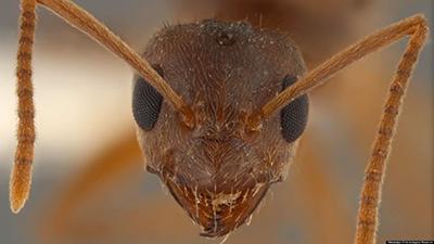Florida Crazy Ants